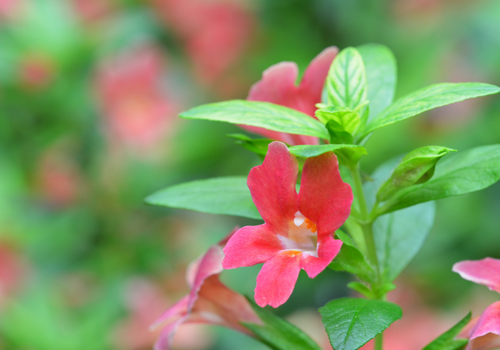 Curious™ Red Monkey Flower plants