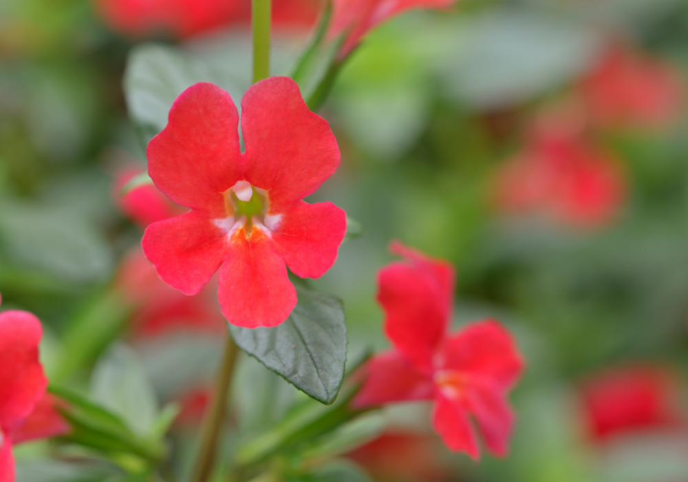 Curious™ Red Monkey Flower up close