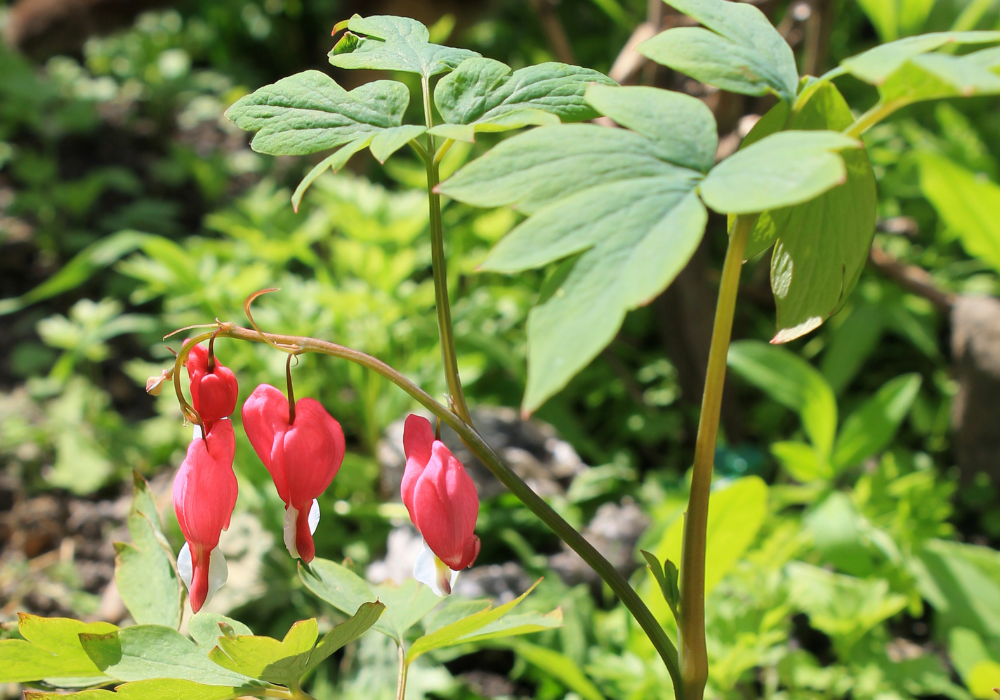 Dicentra spectabilis 'Gold Heart' buds