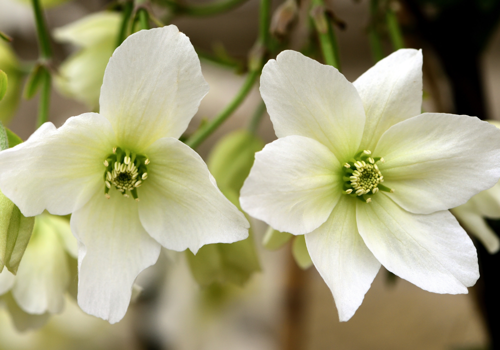 Early Sensation Evergreen Clematis plants