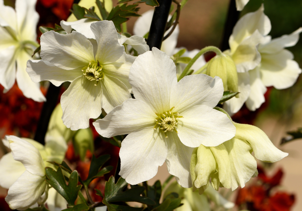 Early Sensation Evergreen Clematis care