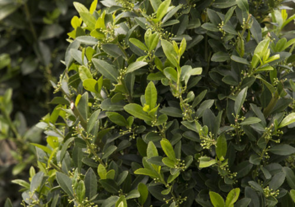 Emerald Colonnade® Holly care