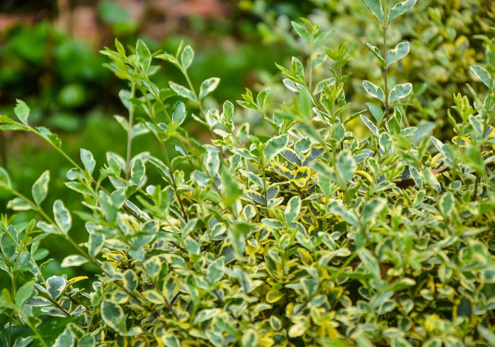 Euonymus japonicus 'Green Spire' plants