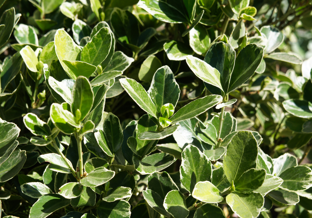 Euonymus japonicus 'Green Spire' up close