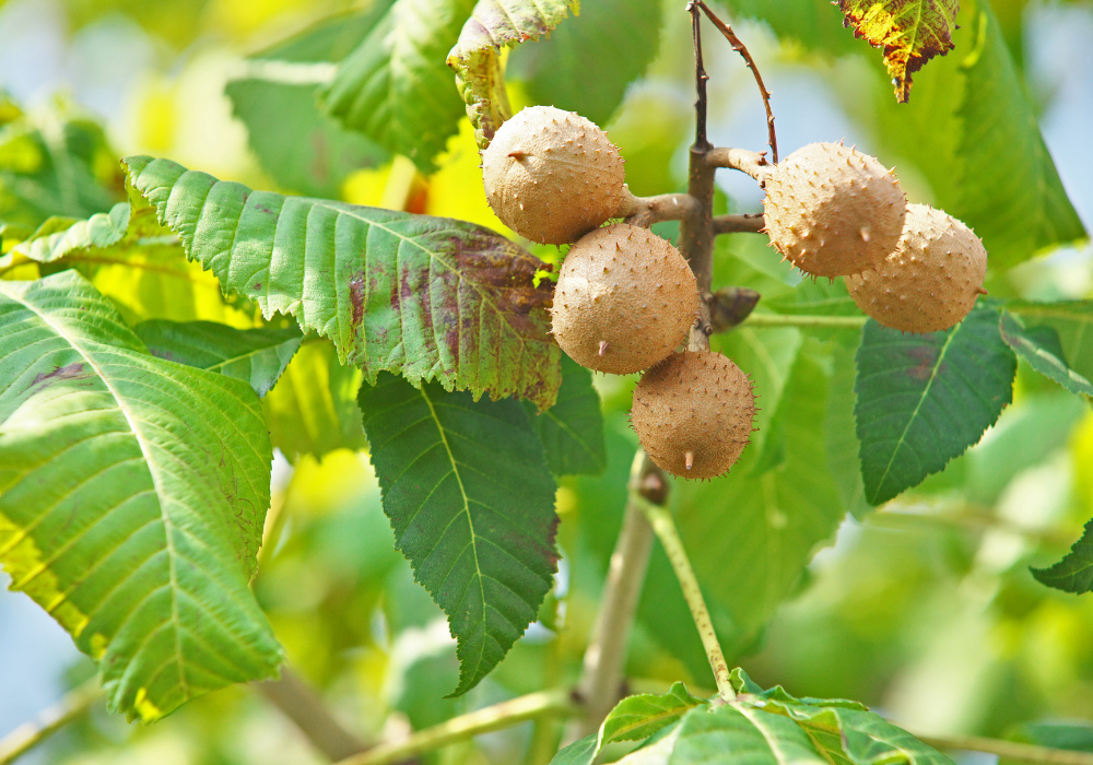 Fort Mcnair Red Horse Chestnut care