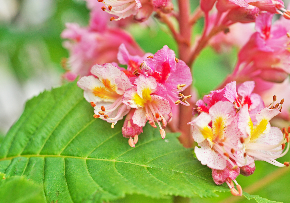 Fort Mcnair Red Horse Chestnut up close