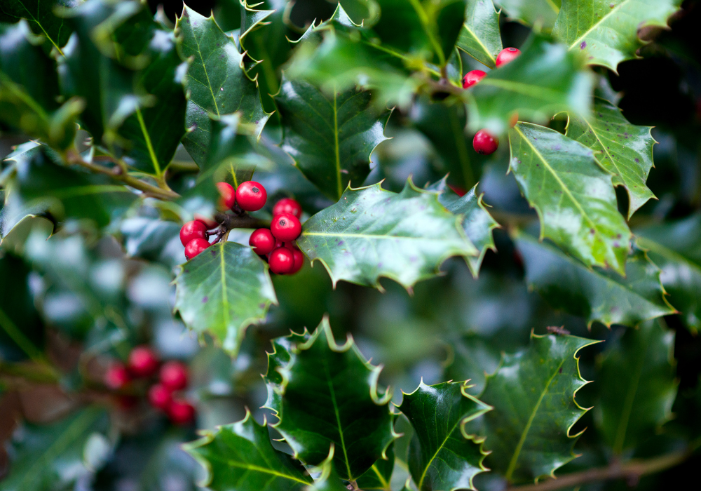 Foster's Holly fruits