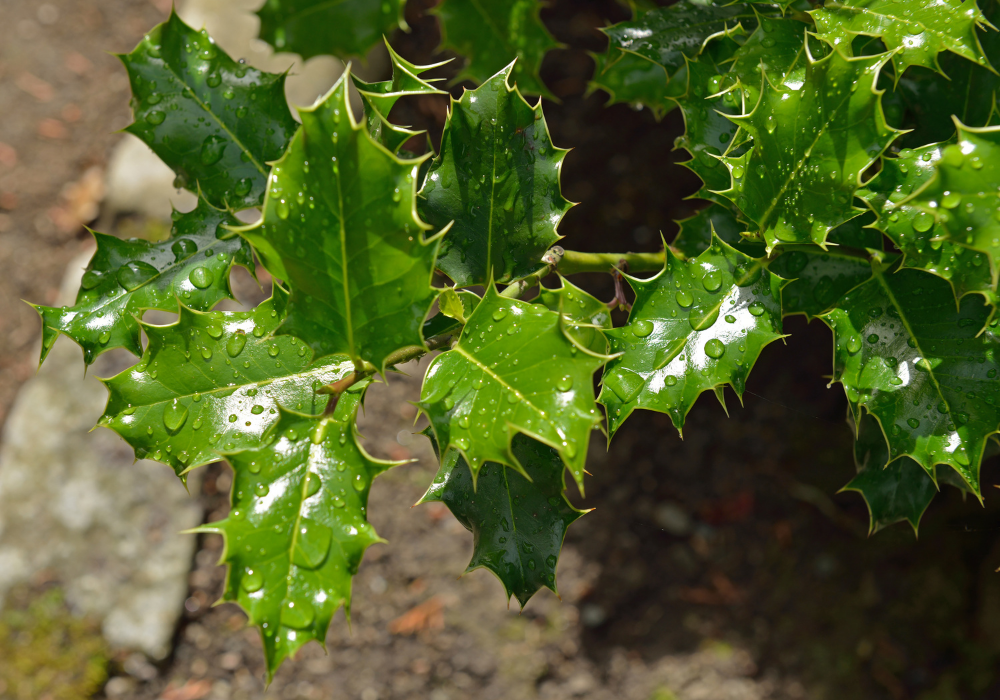 Foster's Holly leaves