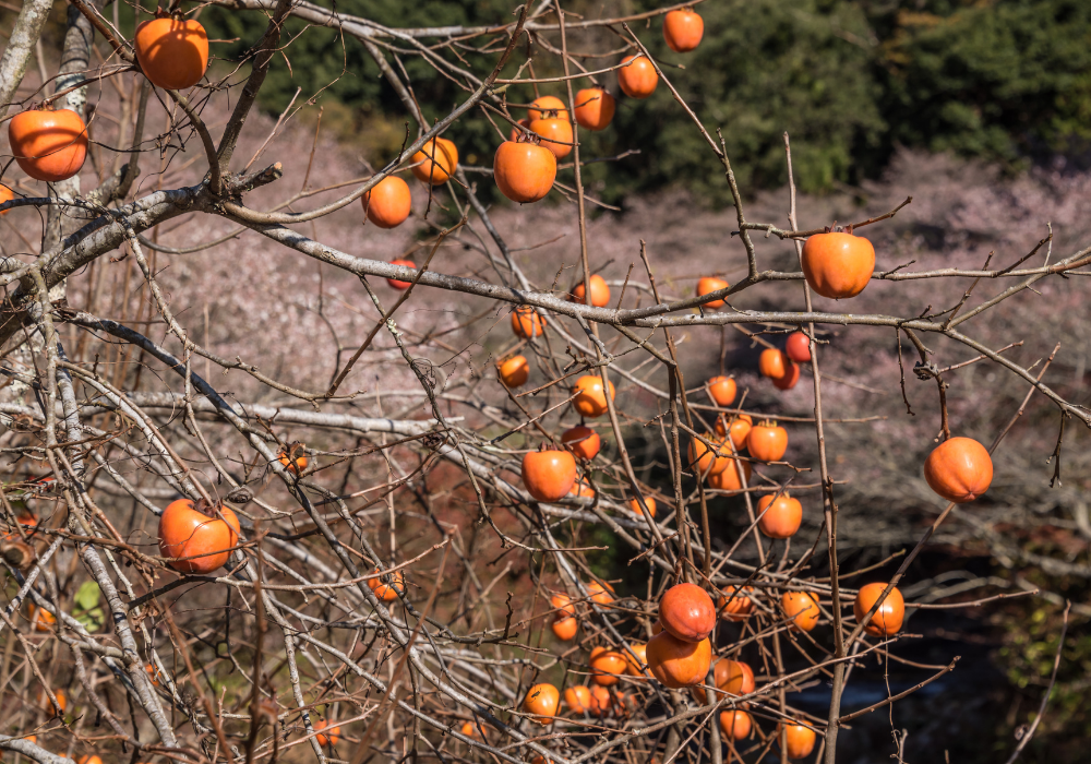 Fuyu Japanese Persimmon without leaves