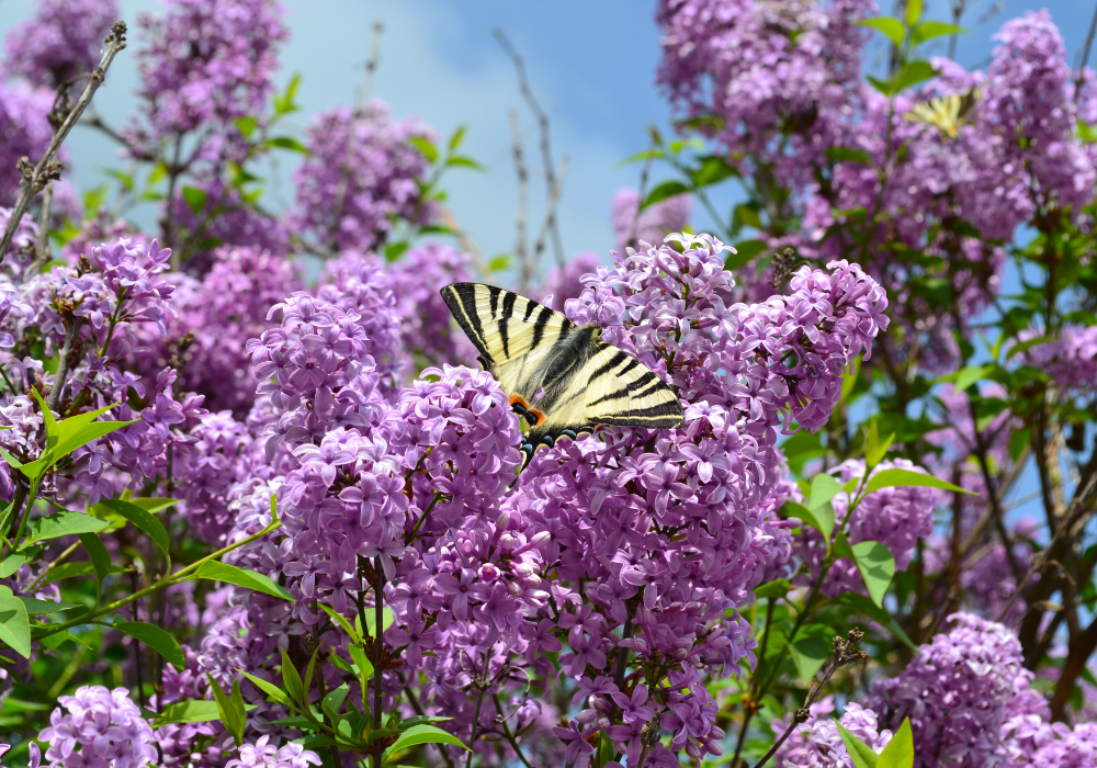 Korean Lilac and butterfly