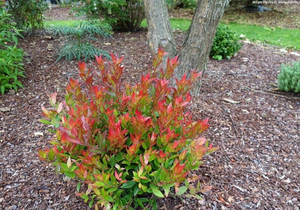 Leafscape™ Little Flames Leucothoe plant