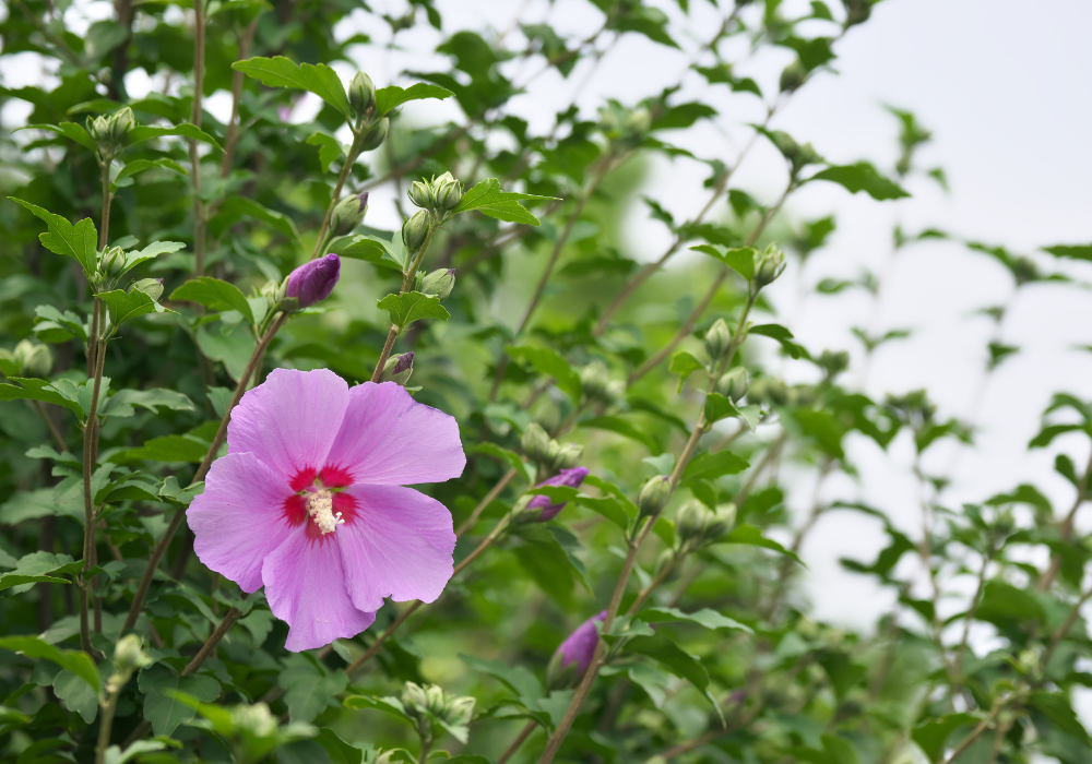 Lil' Kim® Red Rose of Sharon buds