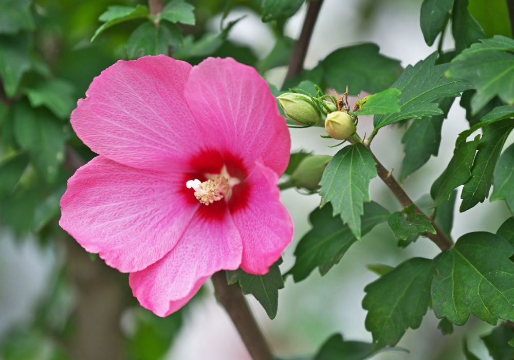 Lil' Kim® Red Rose of Sharon up close