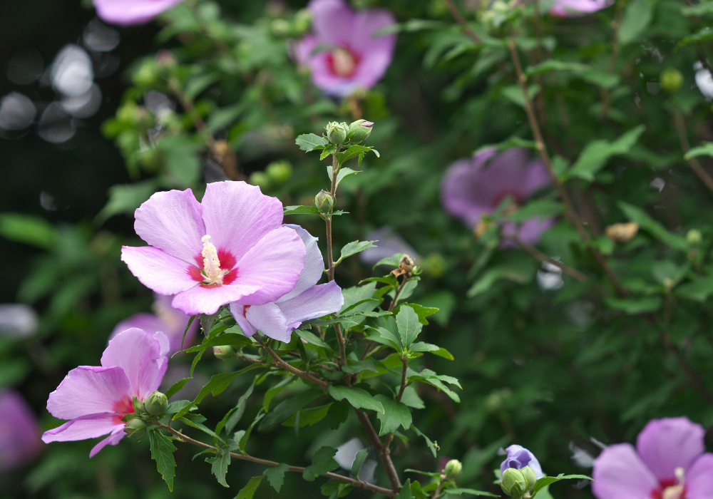 Lil' Kim® Red Rose of Sharon plants