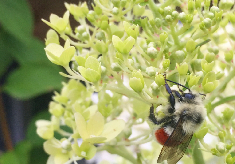 Limelight Hardy Hydrangea and bees