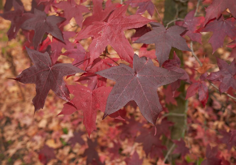 Liquidambar styraciflua 'Rotundiloba' leaves