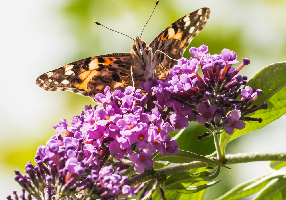 Miss Ruby Butterfly Bush and butterfly