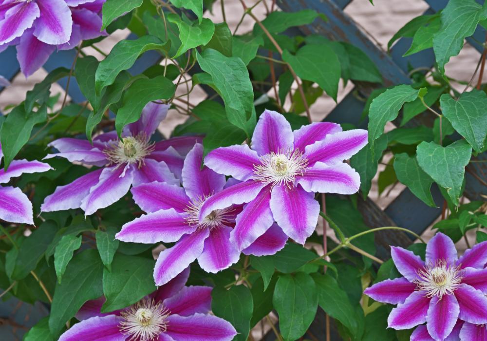 Phyllis™ Clematis plants