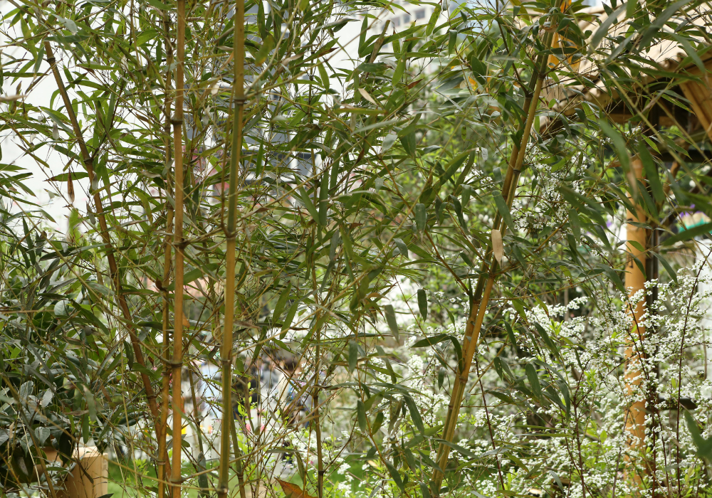 Phyllostachys bissettii plants