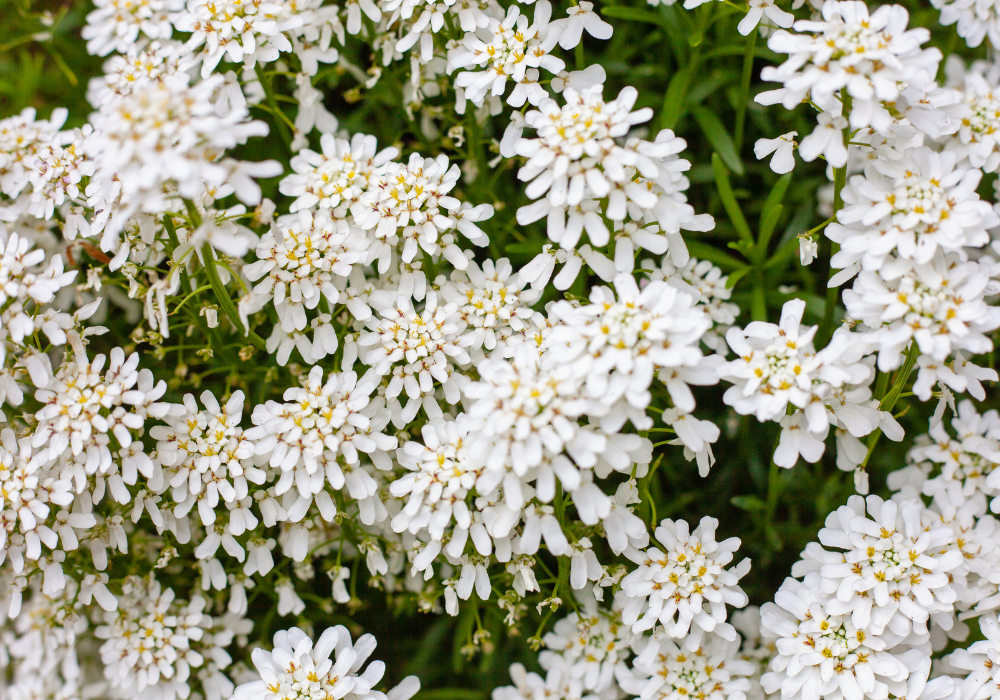 Purity Candytuft plants