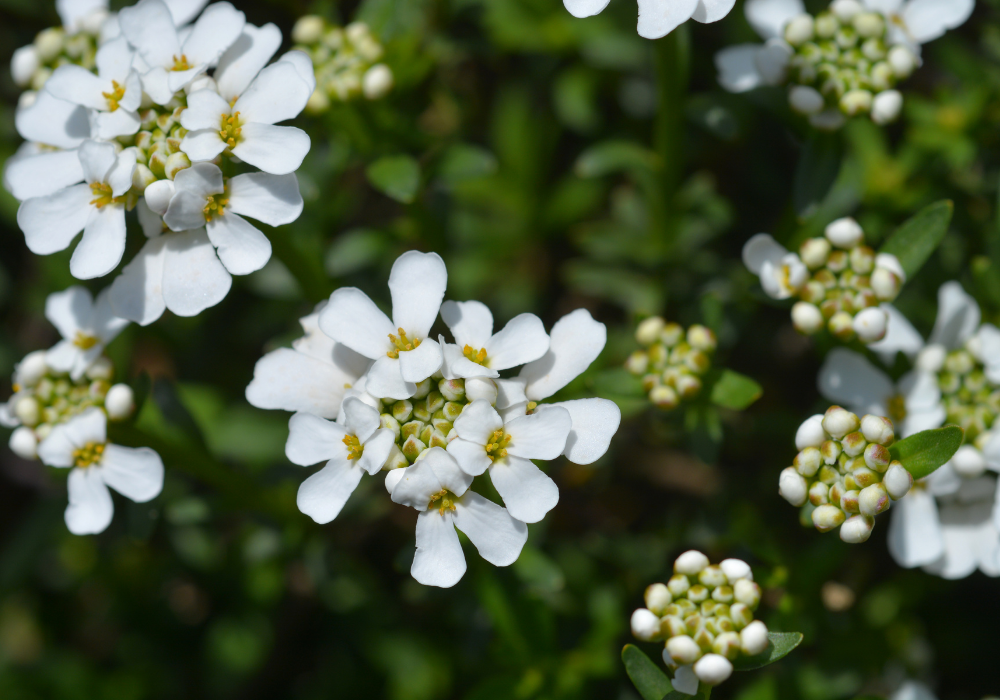 Purity Candytuft up close