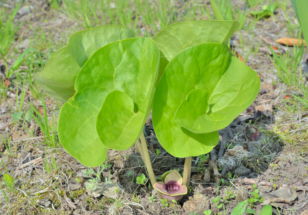 Quicksilver Chinese Wild Ginger new leaves
