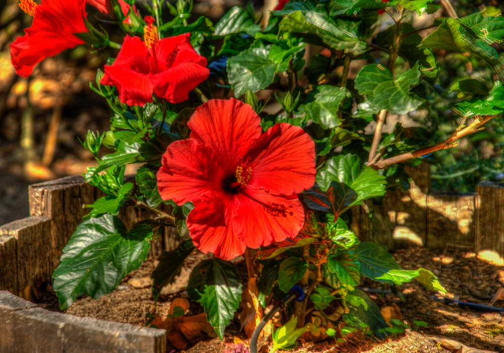 Red Darling® Hibiscus care