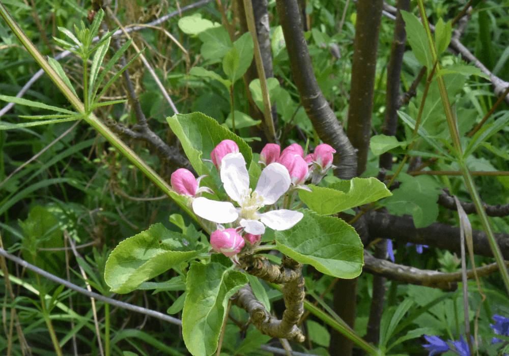 Red Delicious Apple flower