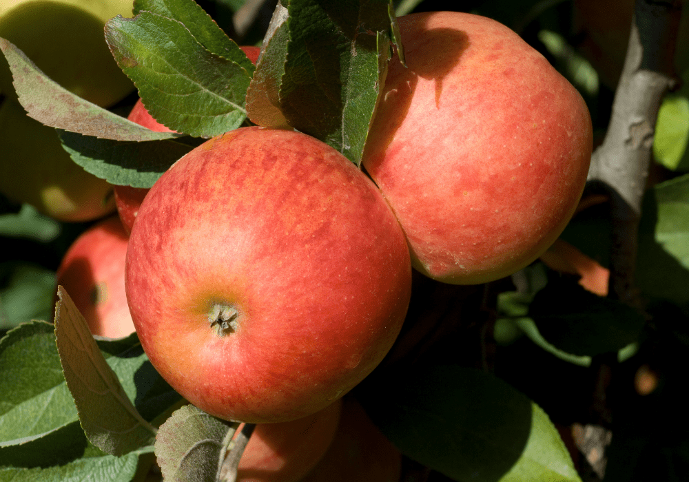 Red Delicious Apple fruits