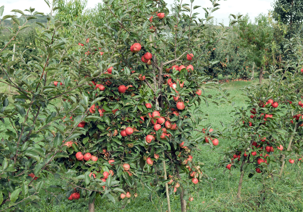 Red Delicious Apple plant