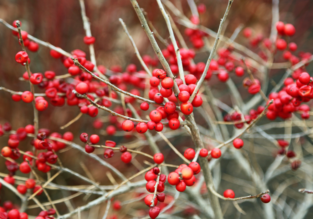Red Sprite Winterberry fruits