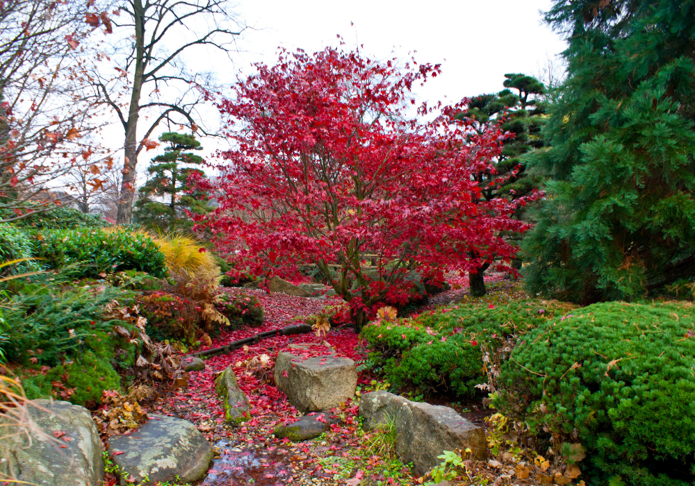 Redpointe Red Maple tree