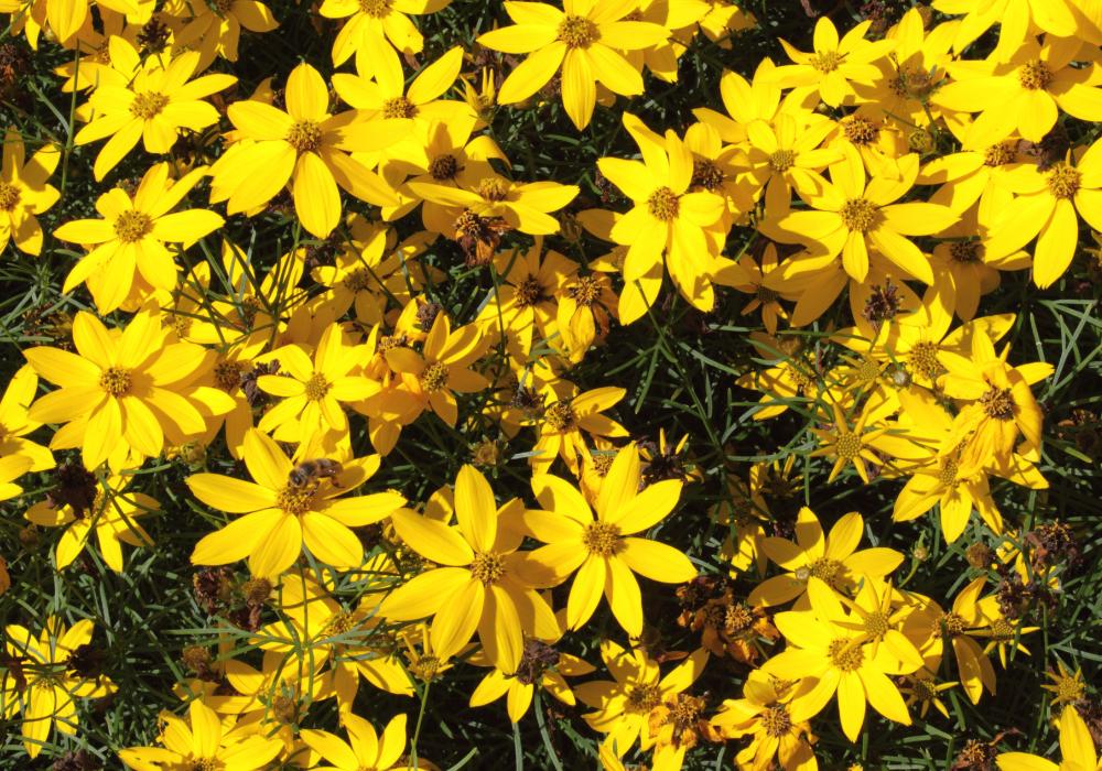 Rising Sun Coreopsis plants