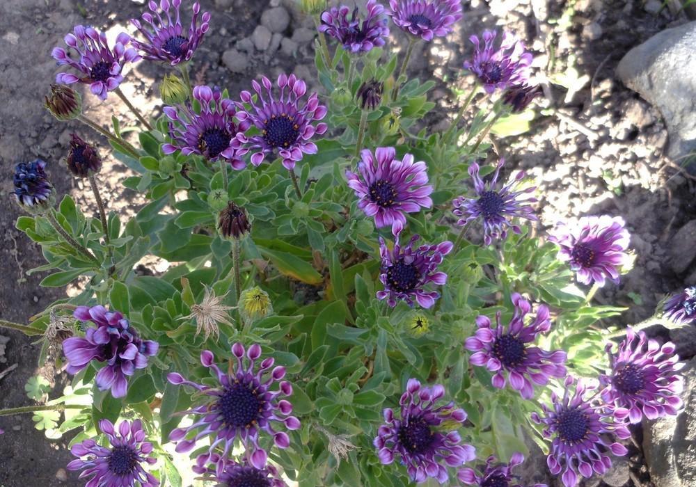 Sunny Elena African Daisy plants