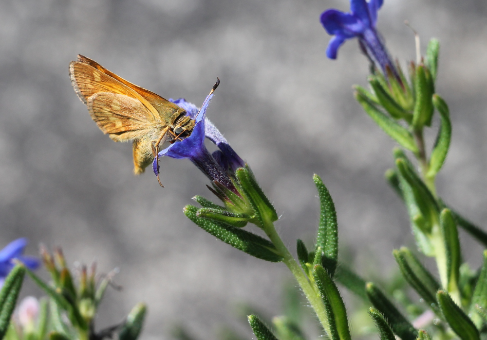 Swirlin' Grace® Lithodora and bees