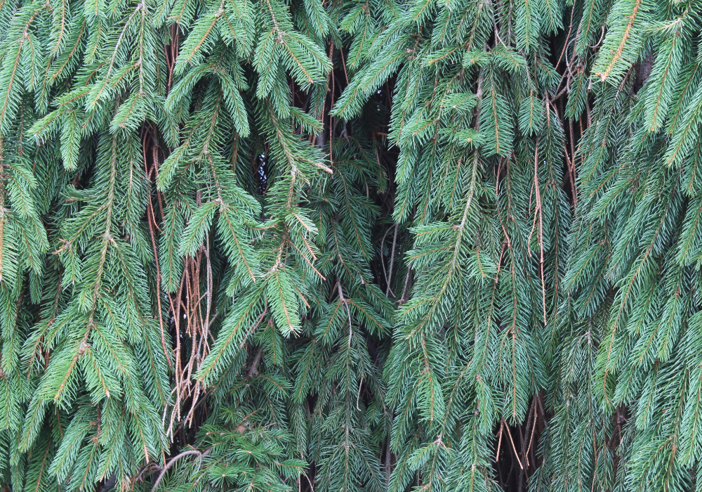 Weeping White Spruce plants