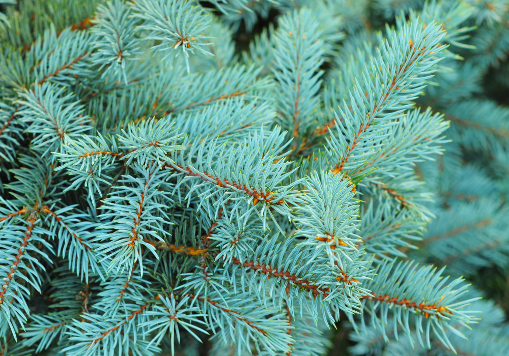 Weeping White Spruce branchy