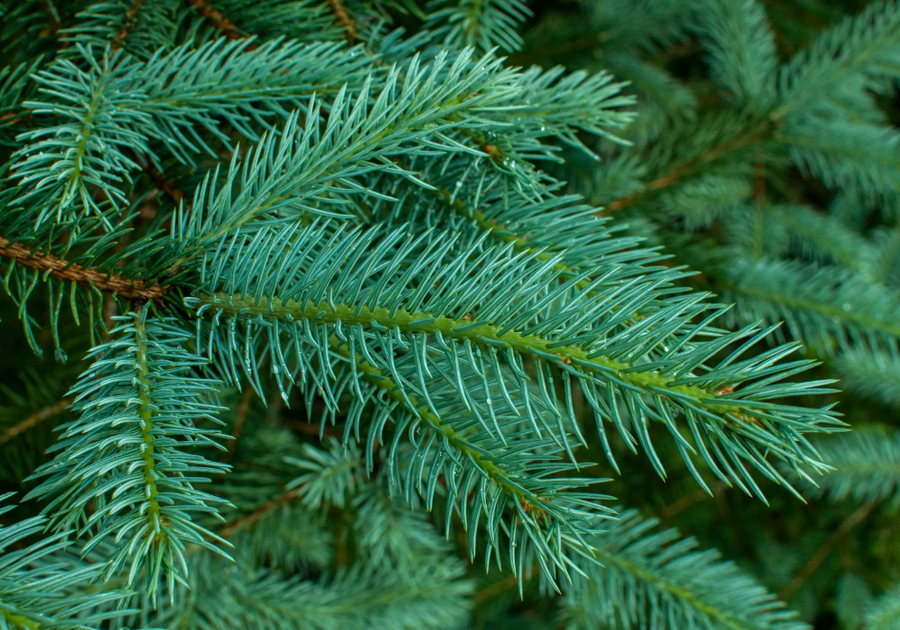 Weeping White Spruce care