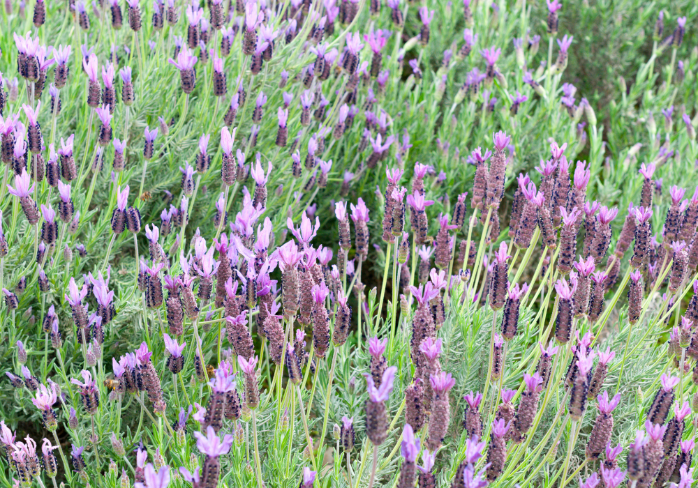 With Love™ Lavender plants