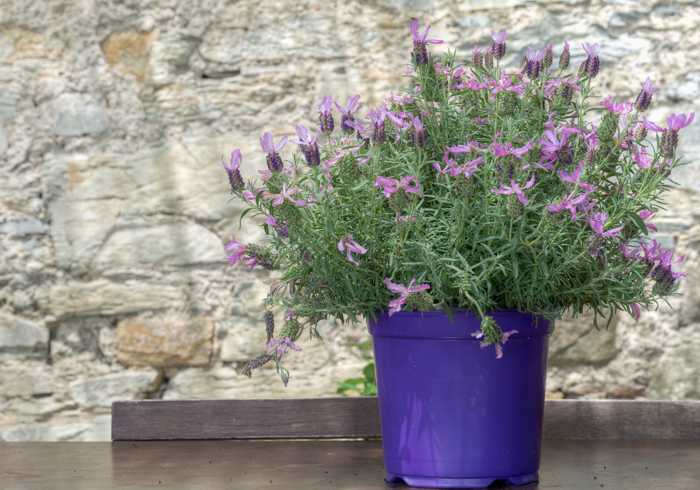 With Love™ Lavender flowers