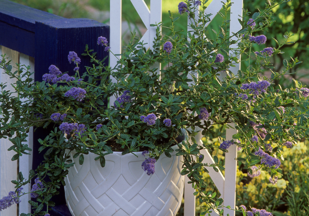 Yankee Point California Lilac care