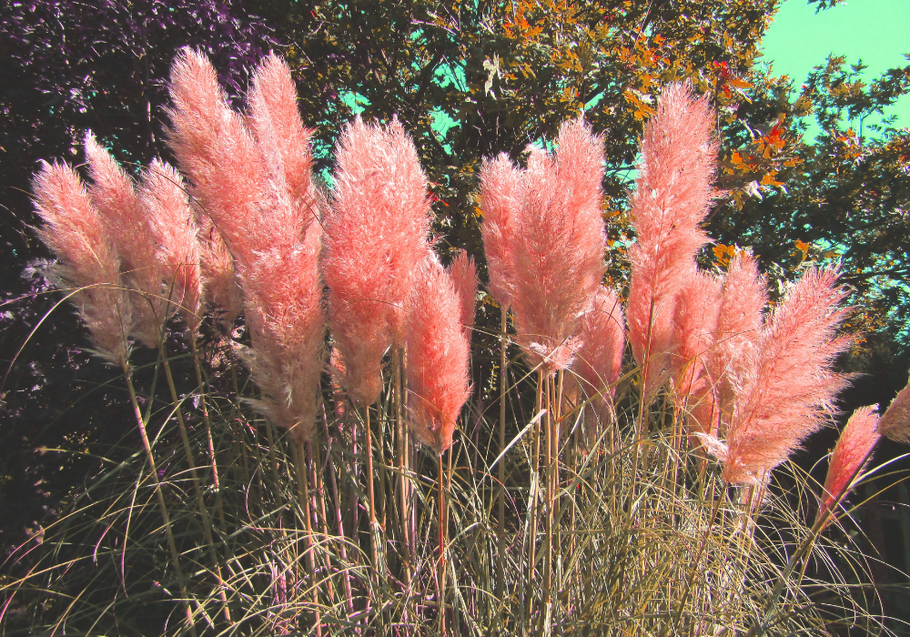 Avalanche Feather Reed Grass flowers