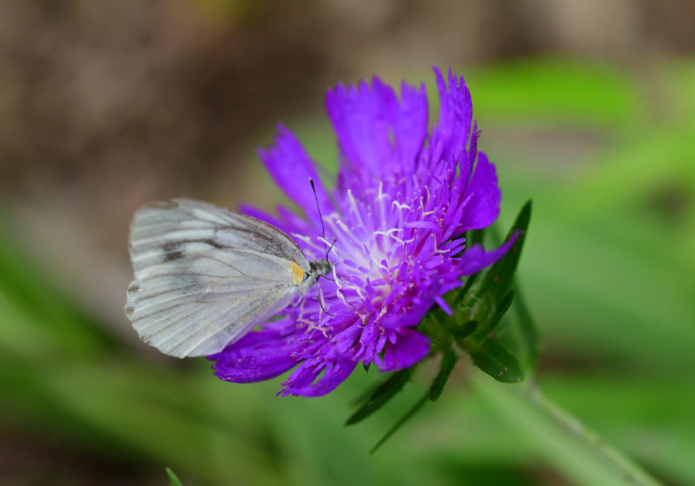 Color Wheel Stokes' Aster and butterfly