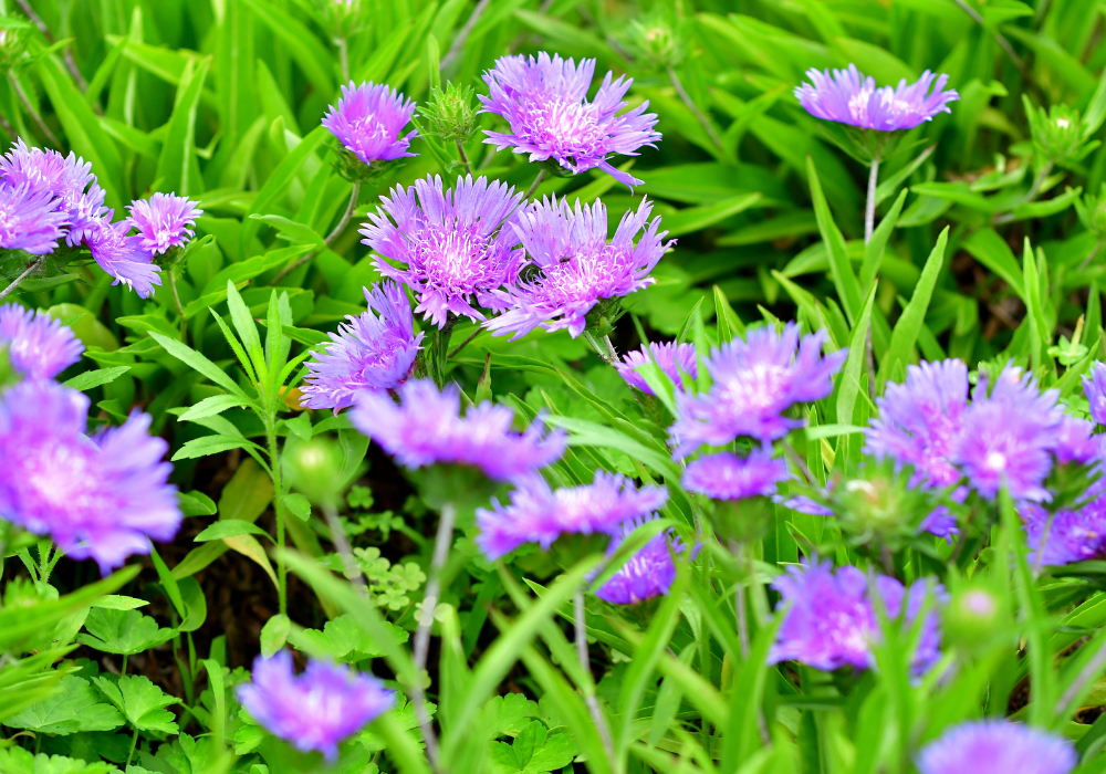 Color Wheel Stokes' Aster flowers