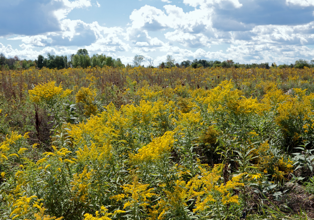 Crown of Rays Goldenrod plants