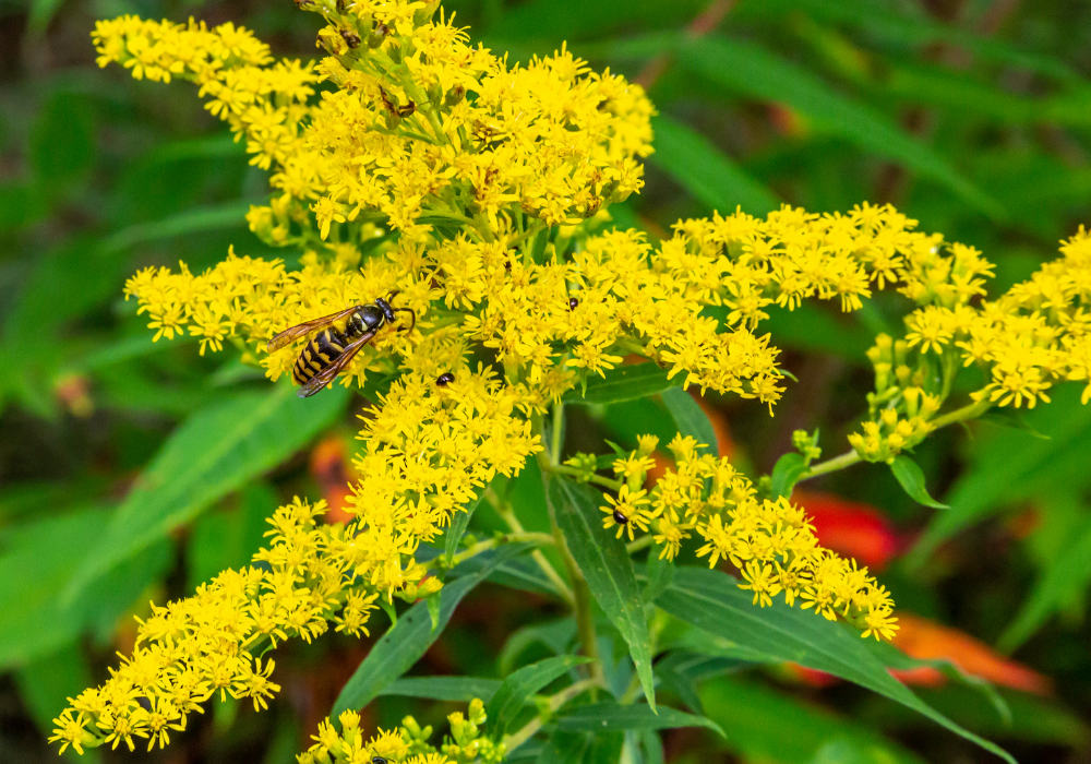 Crown of Rays Goldenrod and bees