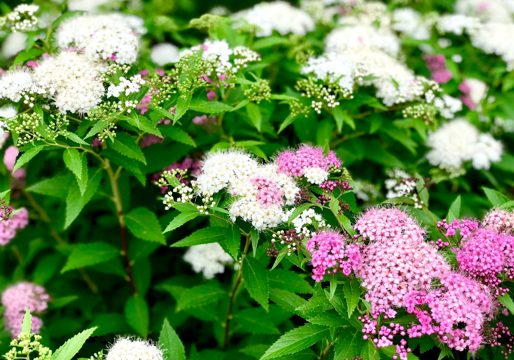 Double Play® Red Spirea care