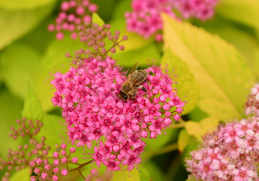 Double Play® Red Spirea and bees