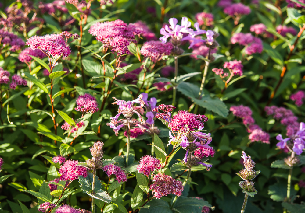 Double Play® Red Spirea plants