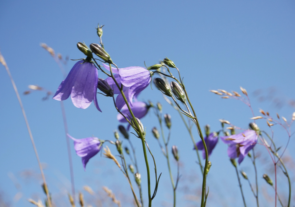 Heavenly Blue Harebell Veronica up close